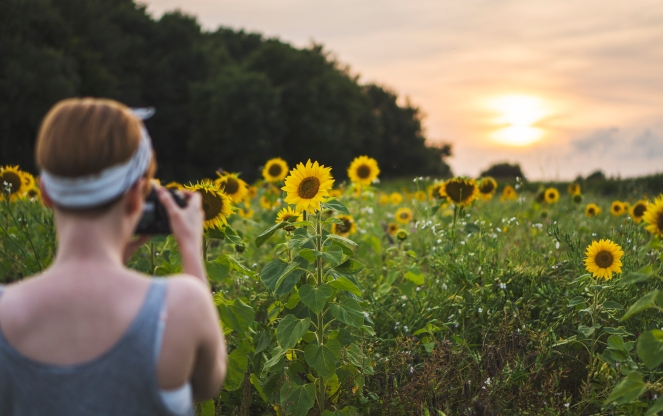 SUNFLOWERS PHOTOGRAPHED