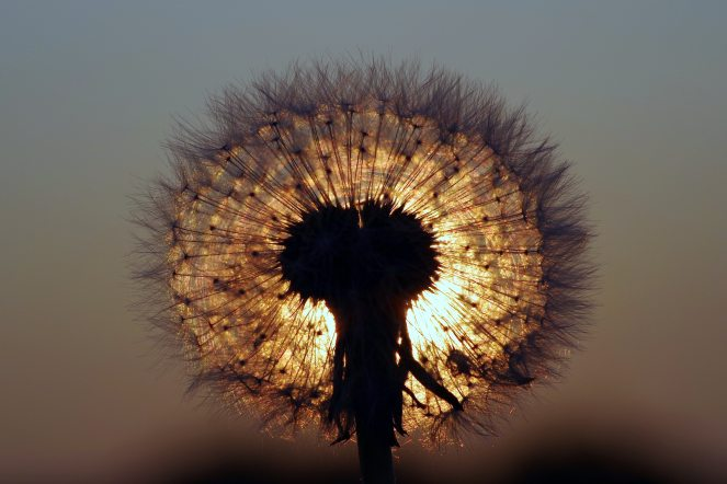 blur-close-up-dandelion-433050