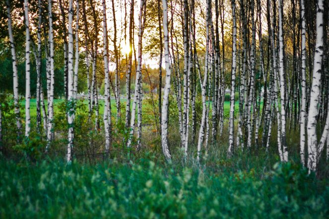 birch-bright-countryside-5616